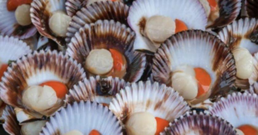 Tasmanian scallop fishery
